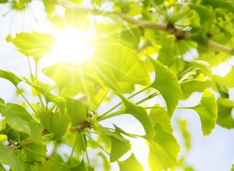 Ginko: Safety and Uses